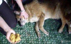 Cani morti per bocconi avvelenati: la rabbia di Manerba