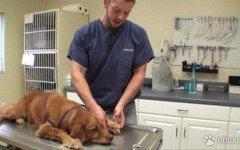 Cane torna a correre dopo un brutto tumore alla zampa