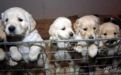Vendono cuccioli malati dall' Est: Denunciati