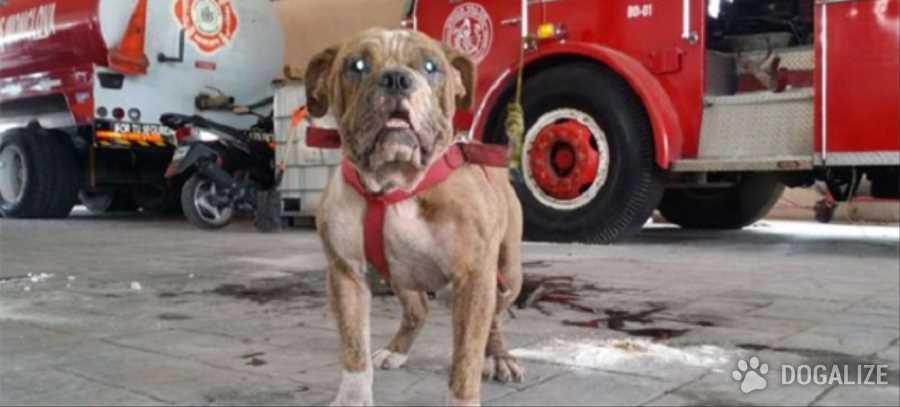 Mexico, un bulldog sera' oficialmente perro bombero