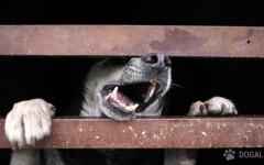 Cani e Botti: cane sfigurato