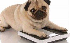 Obesidad de los perros: como pelearla?