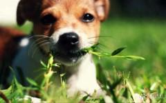 Por que', en el paseo, tu perro come pasto?