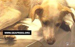 Cagnolina avvelenata: muoiono i piccoli che portava in grembo