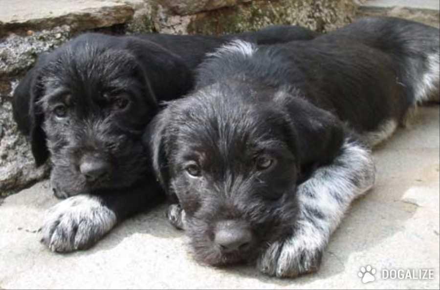 Un povero cucciolo di razza Drathaar, di appena 4 mesi, è stato trovato vagante con la coda strozzata in un elastico e in necrosi