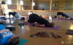 Corsi di Yoga con i gatti: In un ricovero di animali di Decatur, nell'Illinois, i gatti che vi abitano sono anche ottimi allievi di Yoga!