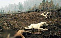 Cani vegliano il corpo senza vita di un cerbiatto