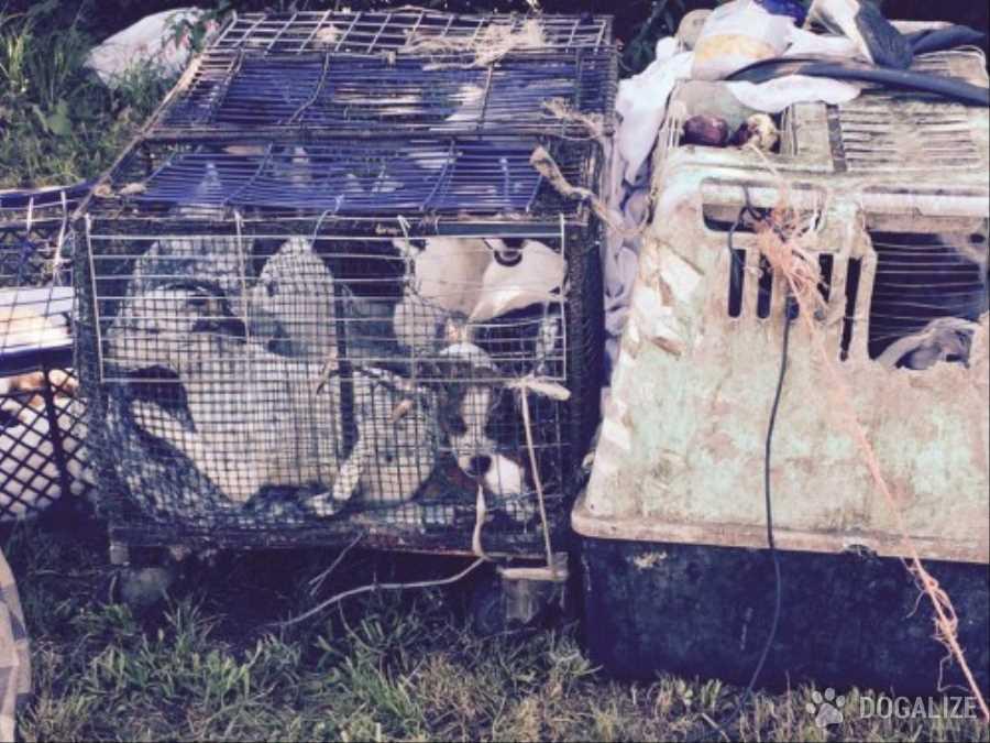cani imprigionati in conigliere e tenuti in catene