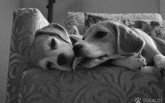 Le cagnoline potrebbero essere più socievoli dei cani maschi. Lo afferma uno studio svedese che ha analizzando il comportamento di 400 beagle.