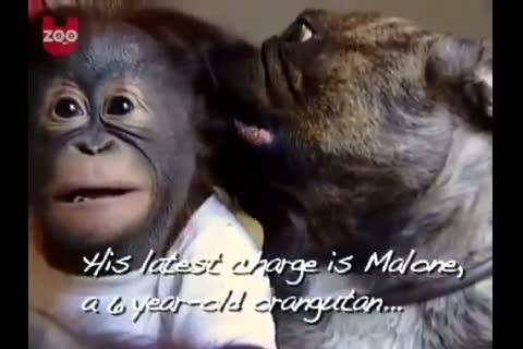 bulldog francesce adotta