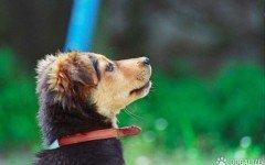 microchip cani