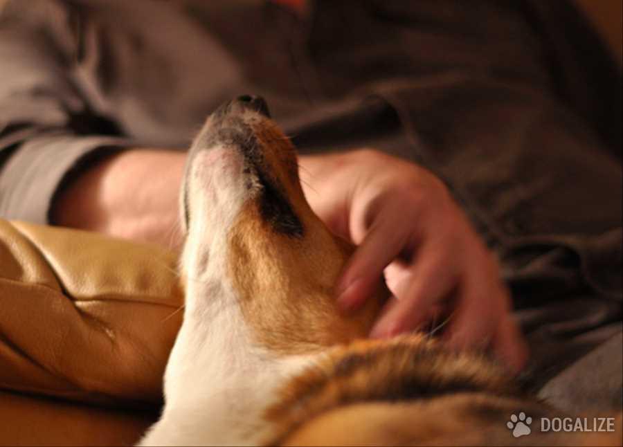 cane addestrato
