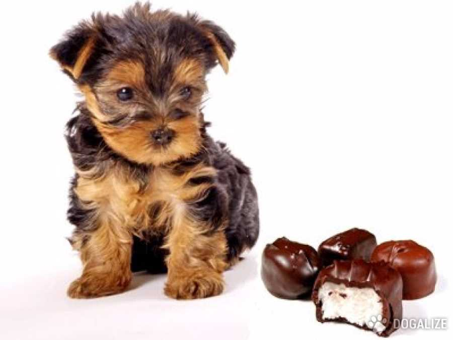 Chocolate venenoso para perro