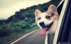 perro sufre el coche