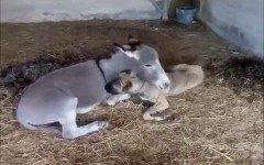 Kolima e Paolo: quando l' asino adotta il cane
