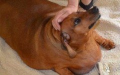 perro más gordo Obie