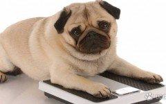 ¿Está tu perro obeso?