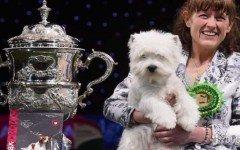 Una West Highland White Terrier de nombre Devon es la campeona en la categoría Best In Show (mejor del show) durante el Crufts 2016