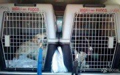 Cani da Soccorso: Arrivano sul luogo del terremoto