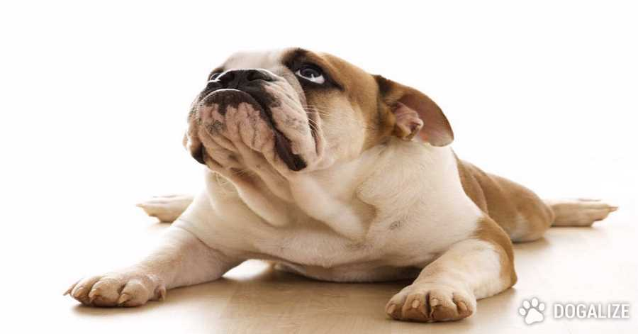 The rapamycin: a drug that can extend the life of dogs