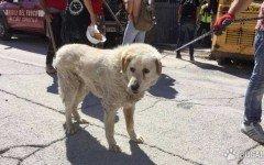 Cane guardiano protegge la casa distrutta dal terremoto. La storia di Bravo