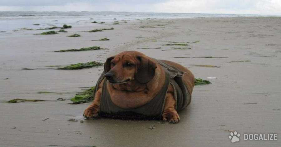 Obie the dachshund, the fattest dog in the world, is on diet!