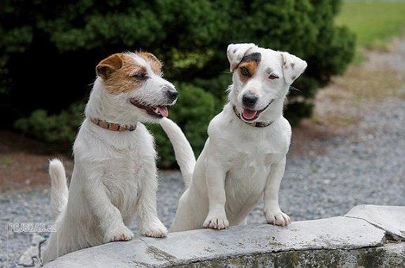 cuccioli jack russel terrier