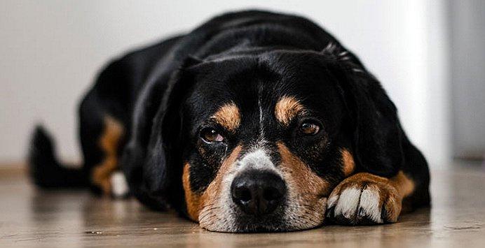 antinfiammatori per cani i infiammazione medicinali