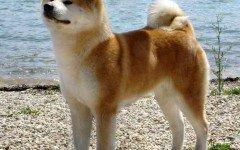 Akita Inu cani di razza razze di cani