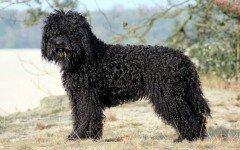 Razze di cani: il cane Barbet carattere e caratteristiche
