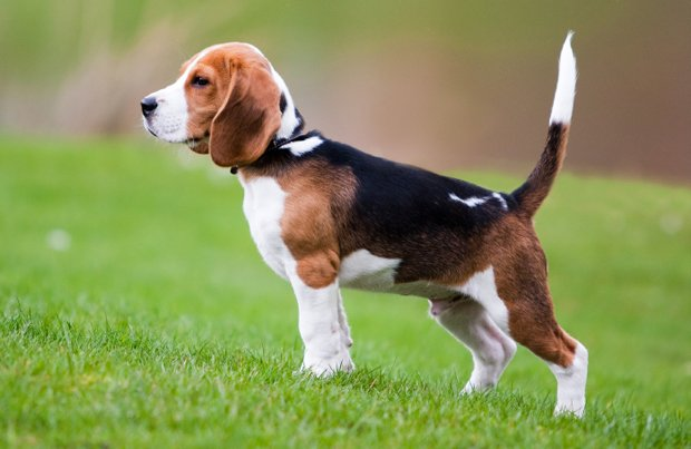 beagle dogalize