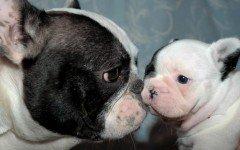 comprar-perros-bulldog-y-bulldog-frances-ayudaria-el-sufrimiento-animal