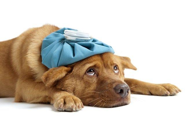Consigli veterinari: il cane non trasmette leishmaniosi, solo l'insetto può!