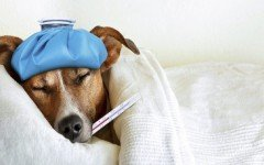 has-your-pet-dog-cat-the-fever-veterinarians-tips
