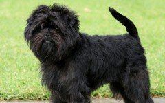Affenpinscher razze di cani Razze cani