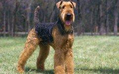 Airedale Terrier razze di cani cani di razza