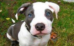 american-pitbull-terrie-pit-bulls-pet-dogs-dangerous