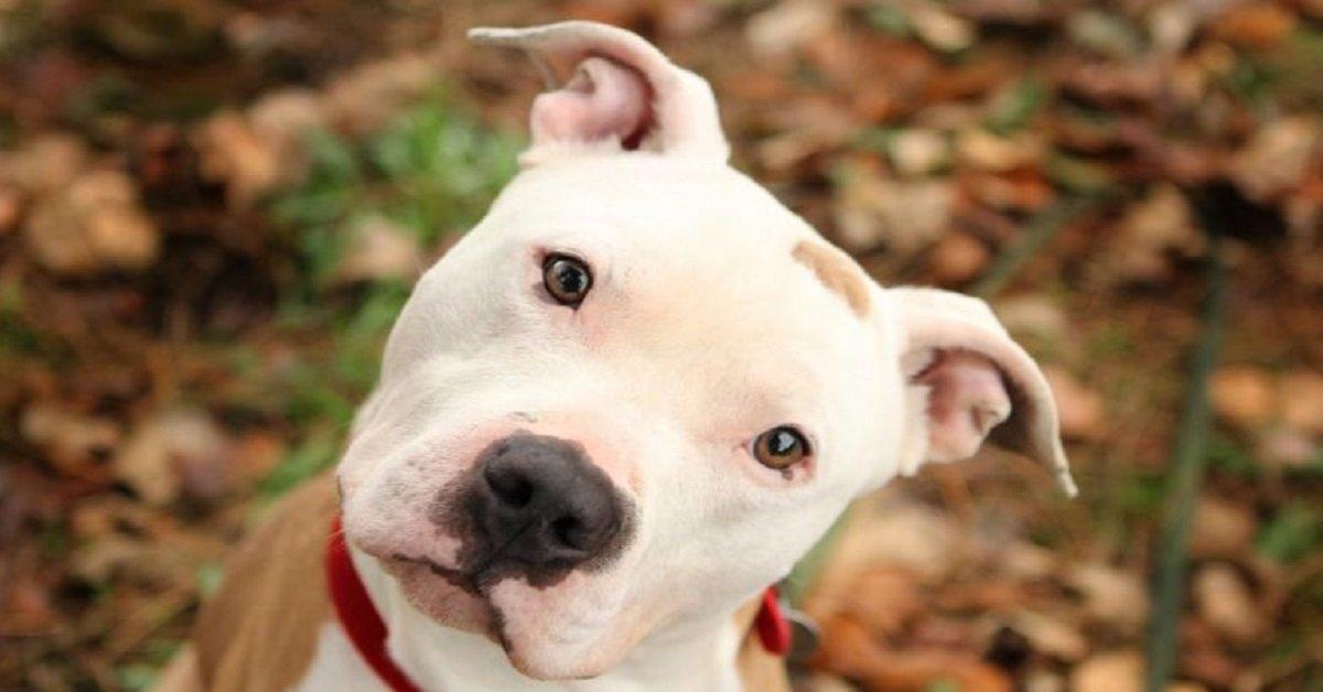 american-pit-bull-terrier-raza-pit-bull-pit-bulls-mascota