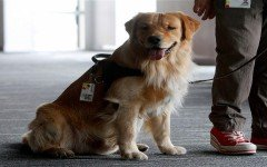 bank-assitance-dog-golden-retriever
