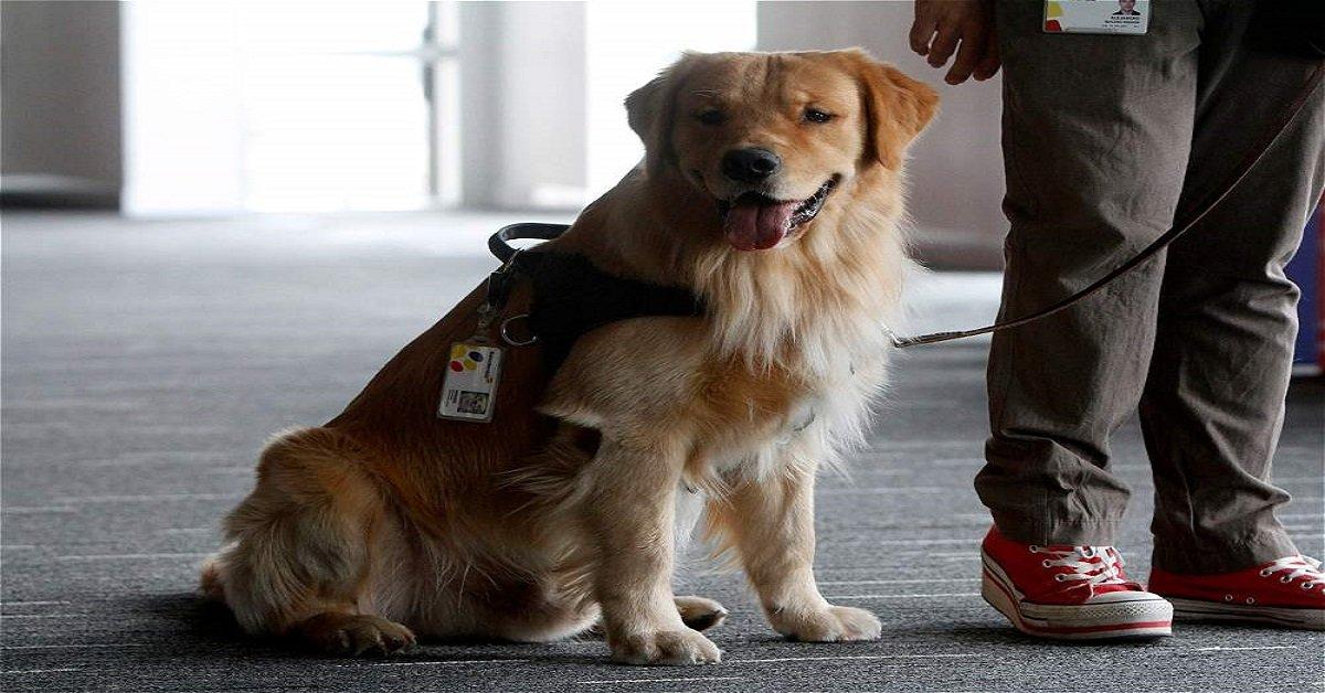 bank-assitance-dog-golden-retriever