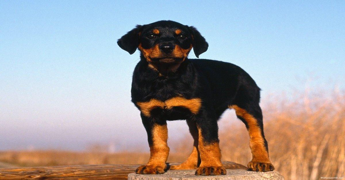 cortar-las-orejas-a-los-perros-o-mascota-es-maltrato-animal