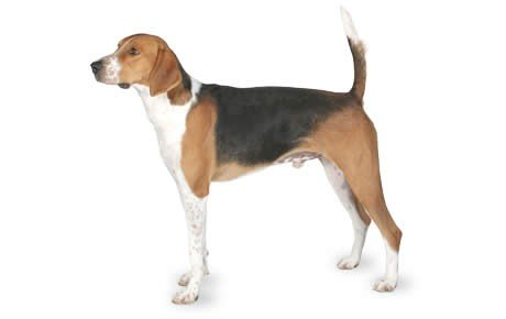 american foxhound razze di cani razze cani