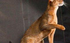 Razze Feline: Il gatto Abissino