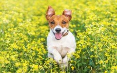 jack-russel-breed-video-puppy-dog