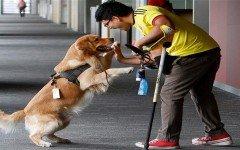 perro-de-asistencia-golden-retriever-trabaja-banco