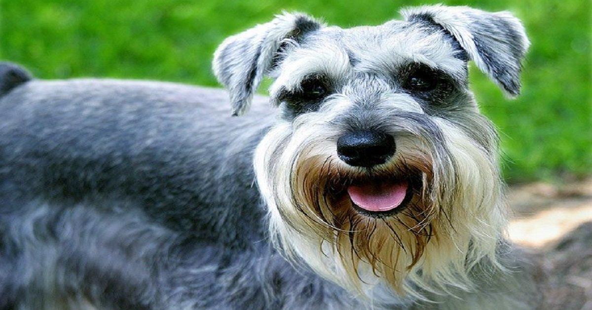 Razas de Perros: El Schnauzer mediano Schnauzer gigante