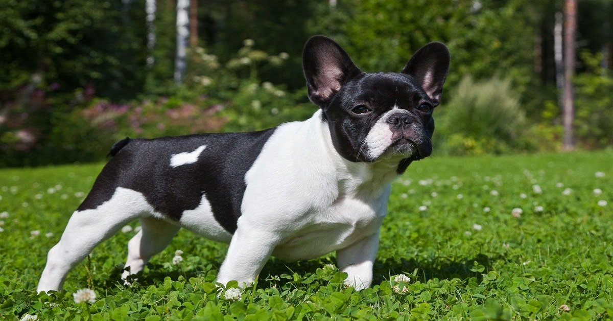 to-buy-pets-breed-bulldog-bread-frenchie-suffering-pets-hatcheries