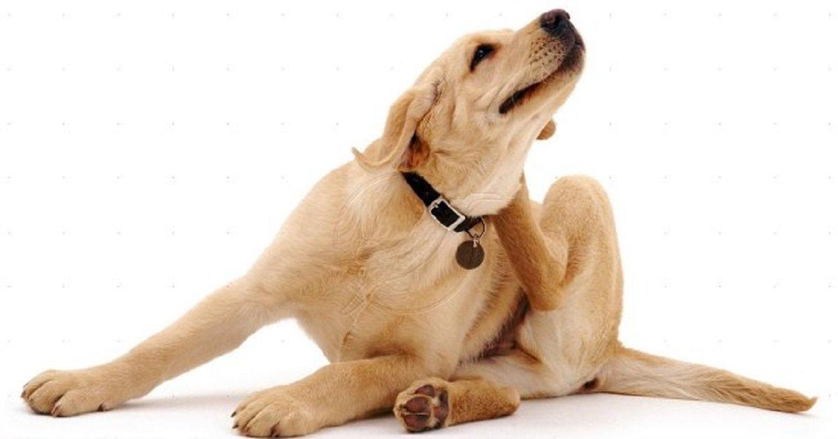 Enfermedades caninas garrapatas en perros tratamientos - Como quitar pulgas en casa ...