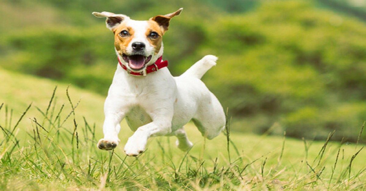 video-del-cachorro-de-perro-de-raza-jack-russel