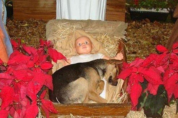 Cane randagio dorme nella mangiatoia di Gesù